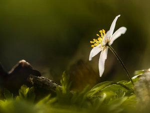 CALVENDO Puzzle Weiße Blüte - Buschwindröschen 1000 Teile Lege-G