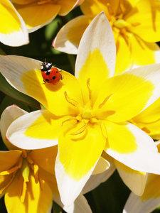 CALVENDO Puzzle Tulipa tarda mit Marienkäfer 1000 Teile Lege-Grö