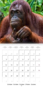 Orangutans Inhabitants of the rainforests (Wall Calendar 2015 30