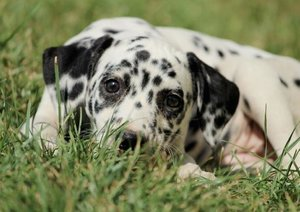 Hultsch, H: Dalmatinerwelpe Pünktchen und seine Freunde (Pos
