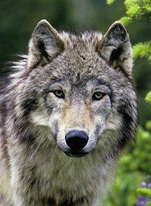 Wolfsportrait. Puzzle 500 Teile