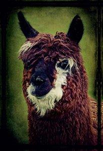 Premium Textil-Leinwand 50 cm x 75 cm hoch Alpaka