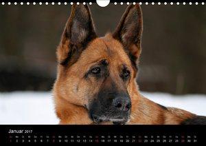 Liebeserklärung an den Schäferhund