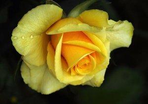 Rosen-Geheimnisse - Visuelle Poesie der Blumen (Tischaufsteller