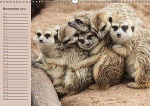 Erdmännchen (Wandkalender 2016 DIN A3 quer)
