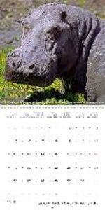 Hippos - African giants (Wall Calendar 2015 300 × 300 mm Square)