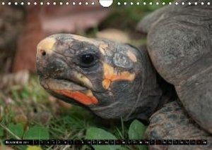 Turtles and Tortoises - Armored pacifists (Wall Calendar 2015 DI