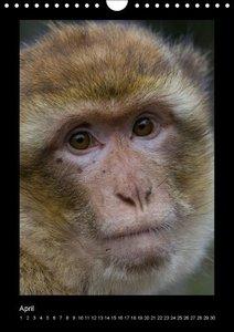 Affenbande 2014 Berberaffen (Wandkalender immerwährend DIN A4 ho