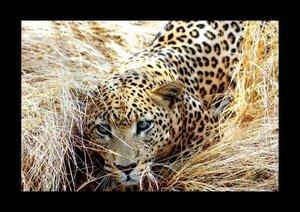 African Leopards (Poster Book DIN A2 Landscape)