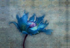 Premium Textil-Leinwand 45 cm x 30 cm quer blue papaver