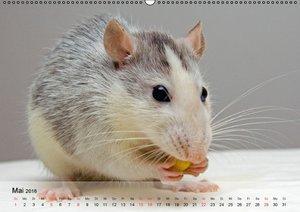 Ratten - Gelehrige Haustiere (Wandkalender 2016 DIN A2 quer)