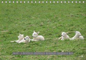 ~bwd~: Schottlands Highland Schafe (Tischkalender 2015 DIN A