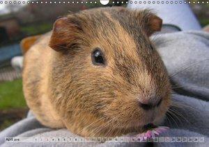 Guinea Pigs Delicate creatures (Wall Calendar 2016 DIN A3 Landsc