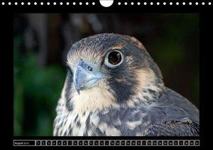 Greifvögel und Eulen im Portrait (Wandkalender 2016 DIN A4 quer)