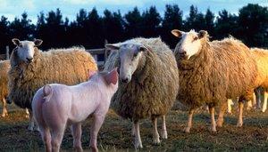 Ein Schweinchen namens Babe - Deutsche, Schweizer und Österreich