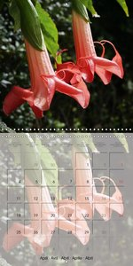 Brugmansia and Datura Beauties (Wall Calendar 2016 300 × 300 mm