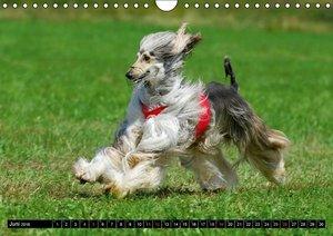Kinder des Windes - Afghanischer Windhund (Wandkalender 2016 DIN