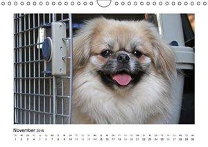 Tibet-Spaniel (Wandkalender 2016 DIN A4 quer)