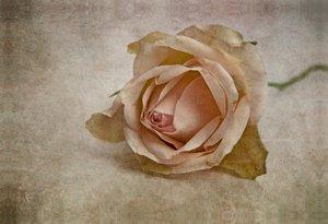Premium Textil-Leinwand 75 cm x 50 cm quer La vie en rose
