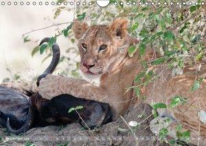 Löwen - Raubkatzen Afrikas (Wandkalender 2016 DIN A4 quer)