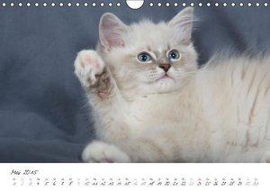Verena Scholze, F: Ragdoll Kitten (Wandkalender 2015 DIN A4