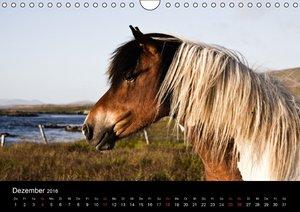 Islandpferde (Wandkalender 2016 DIN A4 quer)