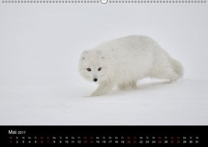 Polarfuchsstudien Wildlife (Wandkalender 2017 DIN A2 quer)
