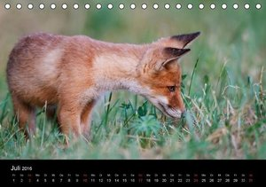Füchse in freier Natur (Tischkalender 2016 DIN A5 quer)