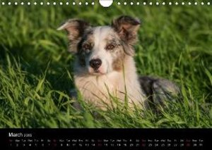 Border Collies - UK Version (Wall Calendar 2015 DIN A4 Landscape
