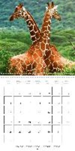 Giraffes - Swinging Elegance (Wall Calendar 2015 300 × 300 mm Sq