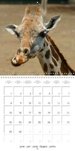 Giraffes - Swinging Elegance (Wall Calendar 2015 300 × 300 mm Sq