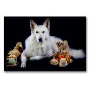 Premium Textil-Leinwand 90 cm x 60 cm quer Weißer Schäferhund