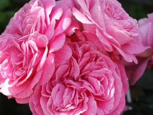 CALVENDO Puzzle Rosa \'Parfuma\' 1000 Teile Lege-Größe 64 x 48 c
