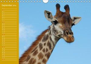 Giraffen / Geburtstagskalender