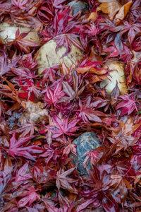 Premium Textil-Leinwand 80 cm x 120 cm hoch Roter Ahorn und Ste