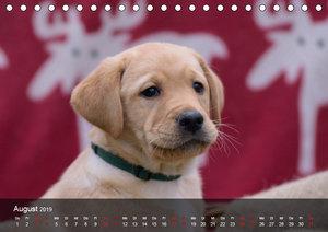 Labrador Retriever Welpen (Tischkalender 2019 DIN A5 quer)