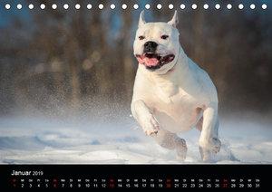 American Bulldog - alles Andere ist nur ein Hund (Tischkalender