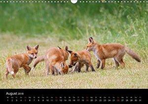 Füchse in freier Natur