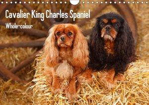 Whole-colour Cavalier King Charles Spaniel