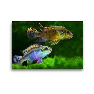 Premium Textil-Leinwand 45 cm x 30 cm quer Pelvicachromis taenia