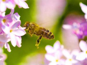 CALVENDO Puzzle Honigbiene 1000 Teile Lege-Größe 64 x 48 cm Foto