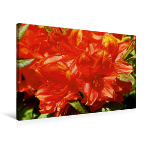Premium Textil-Leinwand 75 cm x 50 cm quer Rhododendron im Garte
