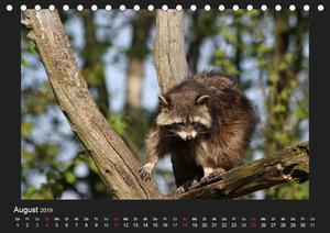 Waschbären (Tischkalender 2019 DIN A5 quer)