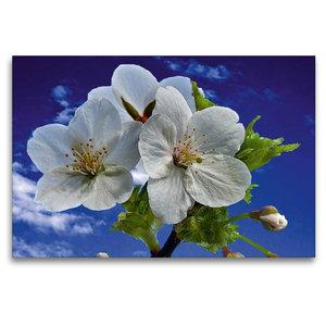 Premium Textil-Leinwand 120 cm x 80 cm quer Wildkirschblüte aus