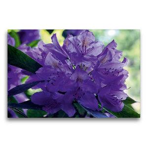 Premium Textil-Leinwand 75 cm x 50 cm quer Lilaner Rhododendron