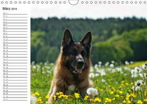 Deutsche Schäferhunde - Senioren auf vier Pfoten