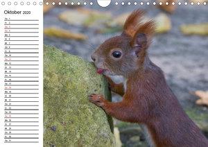 Guck mal, ein Eichhörnchen! (Wandkalender 2020 DIN A4 quer)
