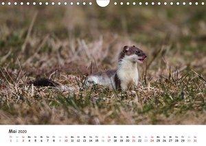 Hermelin - das wieselflinke Raubtier