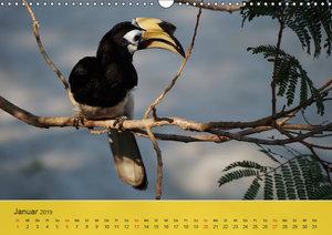Orienthornvögel (Wandkalender 2019 DIN A3 quer)