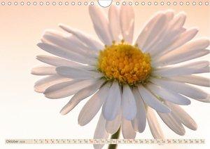 Gänseblümchen Poesie (Wandkalender 2020 DIN A4 quer)